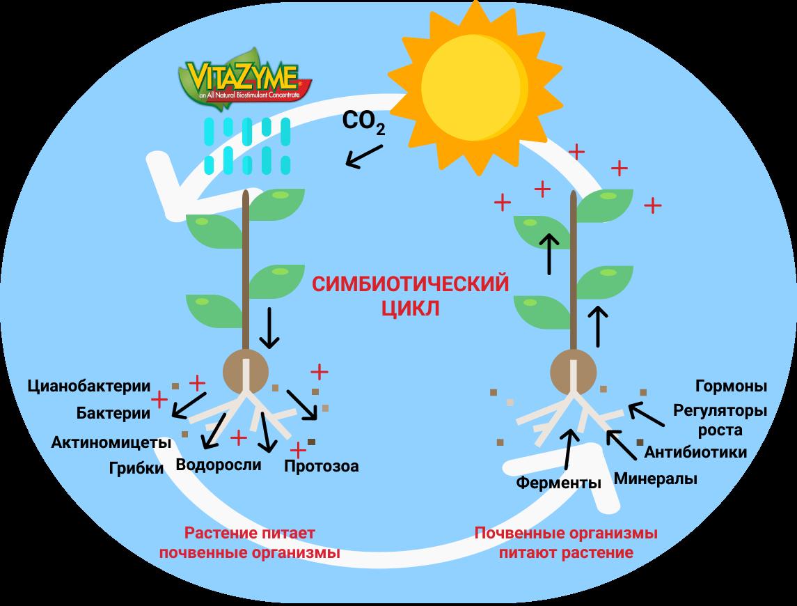 Симбиотический цикл Витазим